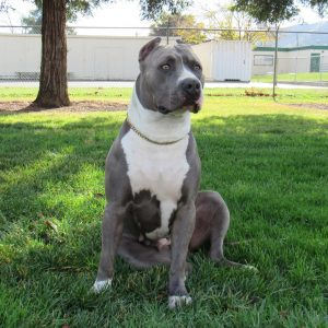 American Pitbull Terrier Puppies and American Bully Puppies