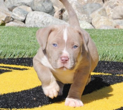 Available American Pitbull Terrier